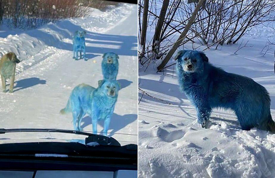 """Lupii, Gogule! Câini albaștri au apărut în mijlocul orașului!!! """"Vom încerca să-i prindem!"""""""