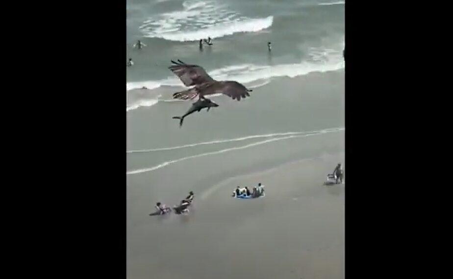 Imagini uluitoare de pe plajă! Un vultur uriaș zboară cu un pui de rechin în gheare – VIDEO