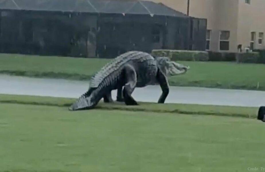 VIDEO | Momentul în care o partidă de golf a devenit un sport extrem! Un aligator uriaş a intrat pe teren. Cum au reacţionat jucătorii