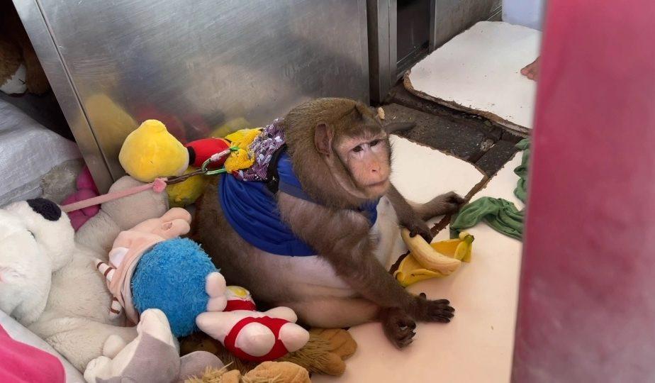"""O maimuţă, obeză după ce a fost hrănită de turişti. """"Godzilla"""" are mari probleme de sănătate. Reacţia autorităţilor"""