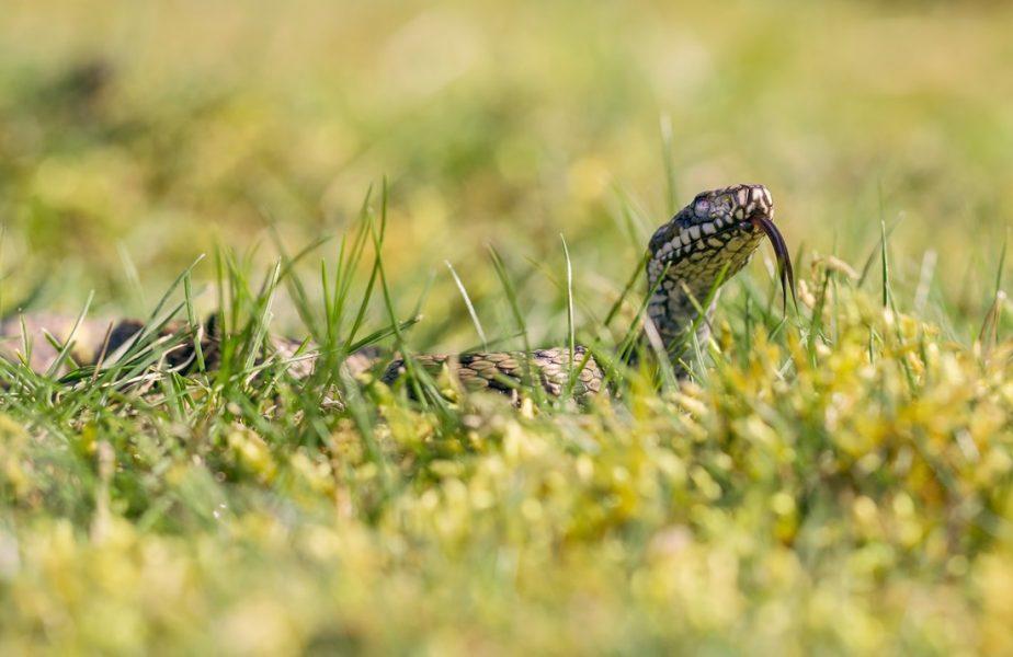 """Invazie de şerpi la Botoşani. """"Am aflat în urmă cu 2-3 săptămâni că au apărut tot mai mulţi în zonă"""""""