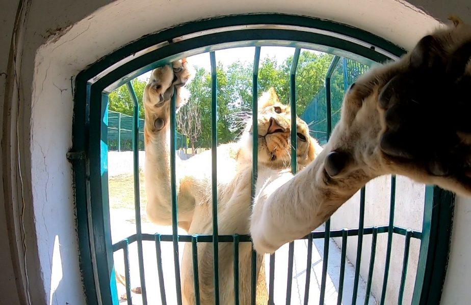Leii din Bănie își ascut colții! Pe jucătorii lui Bergodi îi așteaptă viață grea dacă nu o înving pe FCSB!